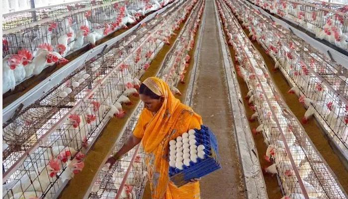 चिकन और अंडे का कोरोना संक्रमण से कोई संबंध नहीं – OEI रिपोर्ट