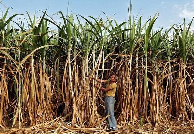 मोदी सरकार ने दी किसानों को बड़ी सौगात, गन्ने के दाम में 10 रुपये प्रति क्विंटल की वृद्धि