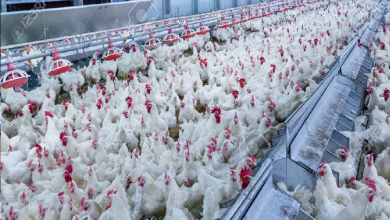 Impact of avian influenza : Chicken supply may stop in the national capital, sold for Rs 45 a kg